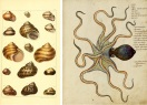 Natural History Lesson - Octopus Shells