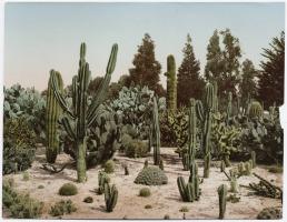 cactus garden in california - 1902